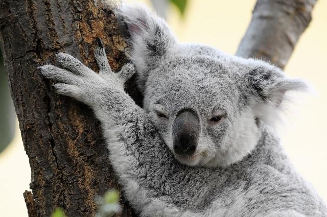 """更让人不解的是,澳洲除了鳄鱼和毒蛇这两种""""凶兽""""以外,全线选择蠢萌路线。 不管是鸭嘴兽(Platypus)  还是沙袋鼠(Wallaby):  还是鸸鹋(Emu):  还是袋熊(Wombat):  都是吃饱了就趴,一趴十天半个月不挪窝,都是低碳生活小能手。 唯一的例外可能是袋鼠(Kangaroo),但是袋鼠把吃来的能量都用来健身,不用来长脑,1米7的个子,大脑却只有人类的1/24,所以基本也一样。 所以,我们从这些故事里学到什么东西呢?我们学到""""蠢萌也需要一个政治正确的"""