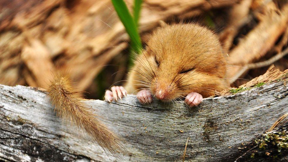 英国睡鼠面临绝种危机