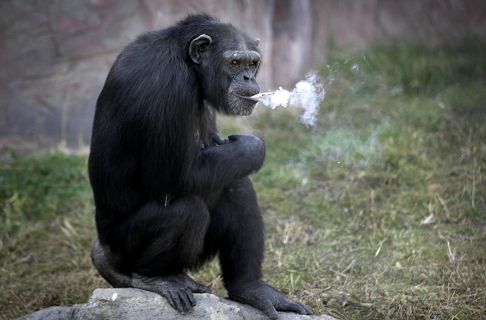 朝鲜动物园19岁大猩猩有烟瘾