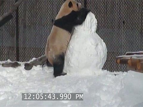 中国大熊猫多伦多动物园玩雪