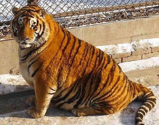 外媒看中国:哈尔滨动物园东北虎咋胖成球了