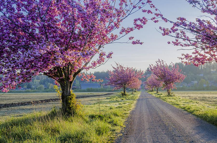 有声双语美文:席慕蓉《一棵开花的树》
