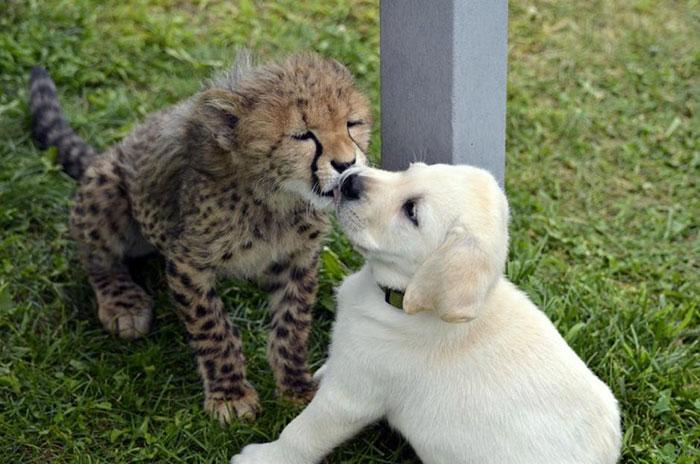 思维导图_动物园的猎豹宝宝太害羞,于是~~_沪江英语