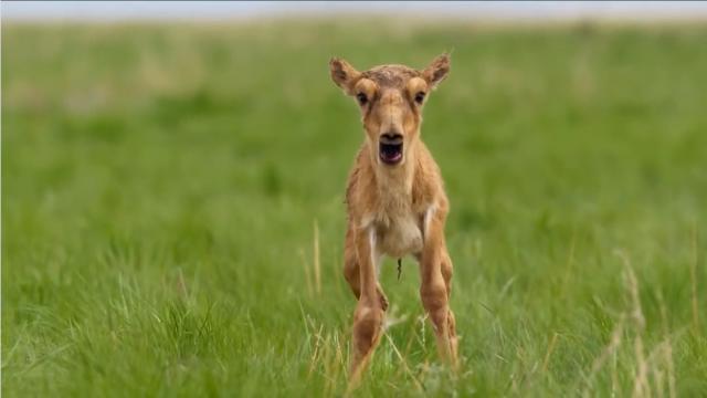 当动物的吼叫换成人