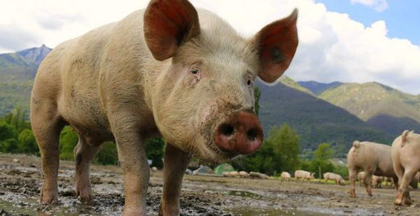 〠腰果派热点速递〠 No.153——全球最大猪肉生产商计划供应猪器官给人类做器官移植