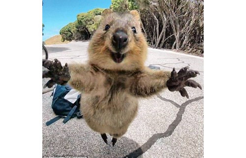琼斯抓拍的一张短尾矮袋鼠的可爱近照走红网络 照片上,这只小家伙奋力