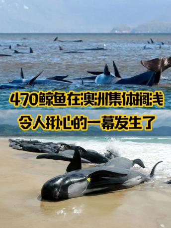 揪心!470只鲸鱼在澳洲集体搁浅,最悲惨的一幕还是发生了...
