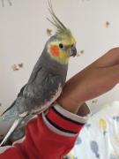 我家小鸟(公:贝贝)(母:红音)